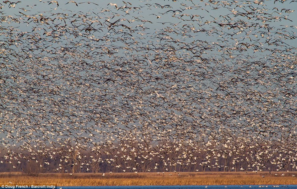 Photographer Doug French said: 'The spectacle of seeing this number of snow geese in one area was truly magnificent to see and hear'