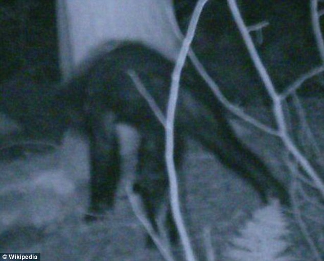 Mystery: The iceman is also akin to Sasquatch, possibly seen in this 2007 photograph taken in Pennsylvania
