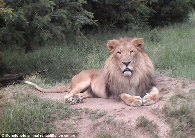 Docile? A male lion, like the one that attacked Fagen, basks in the sun at South Africa's Moholoholo Wildlife Rehabilitation Center. Fagen said the lion was being very docile before the attack
