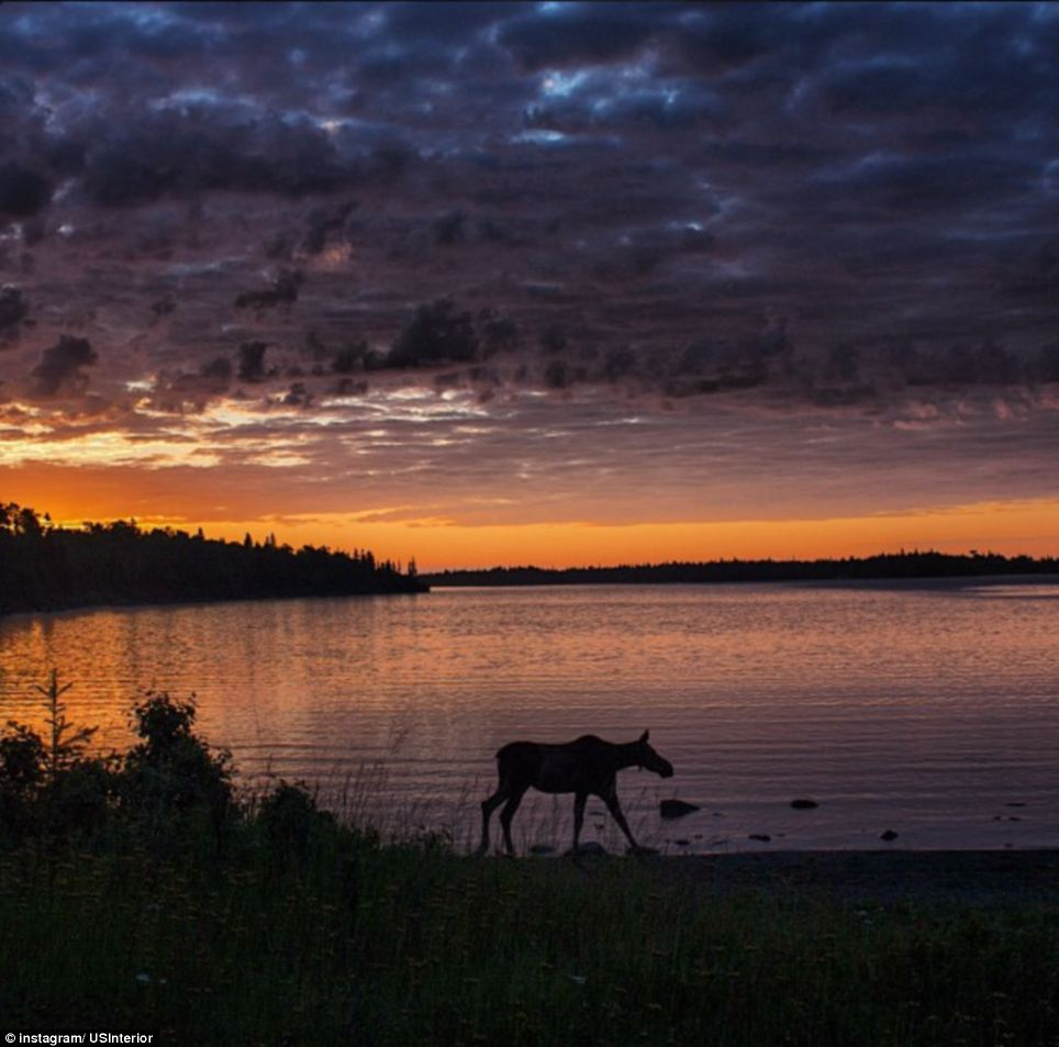 Michigan: A moose grazes at Daisy Farm Campground in Isle National Park in the early morning