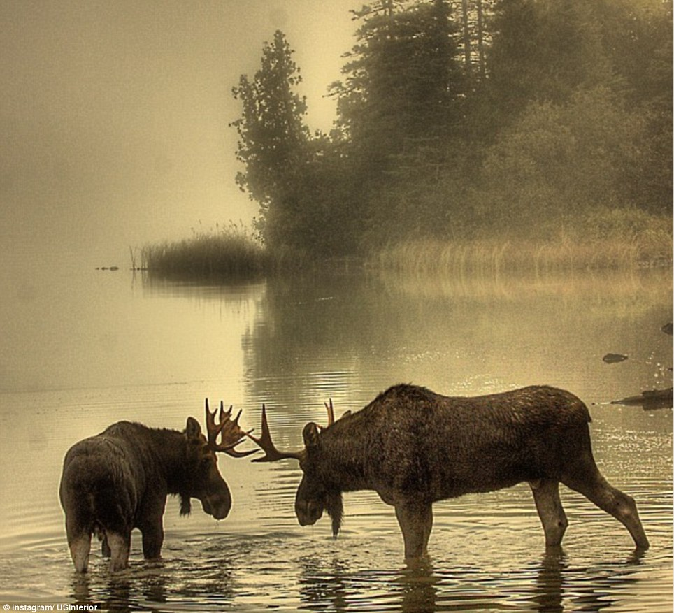 Michigan: Young bulls face off in the early morning at Isle Royale National Park