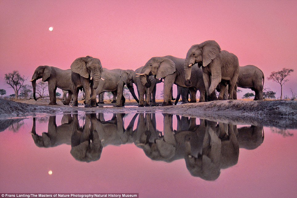 Pretty pink: African Elephants at Twilight by Frans Lanting is an astonishing photograph taken at Chobe National Park in northern Botswana
