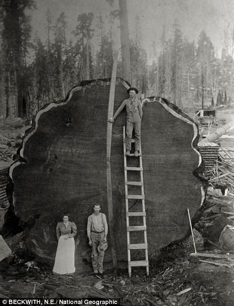 California loggers and a giant Mark Twain Redwood that they cut down in 1892