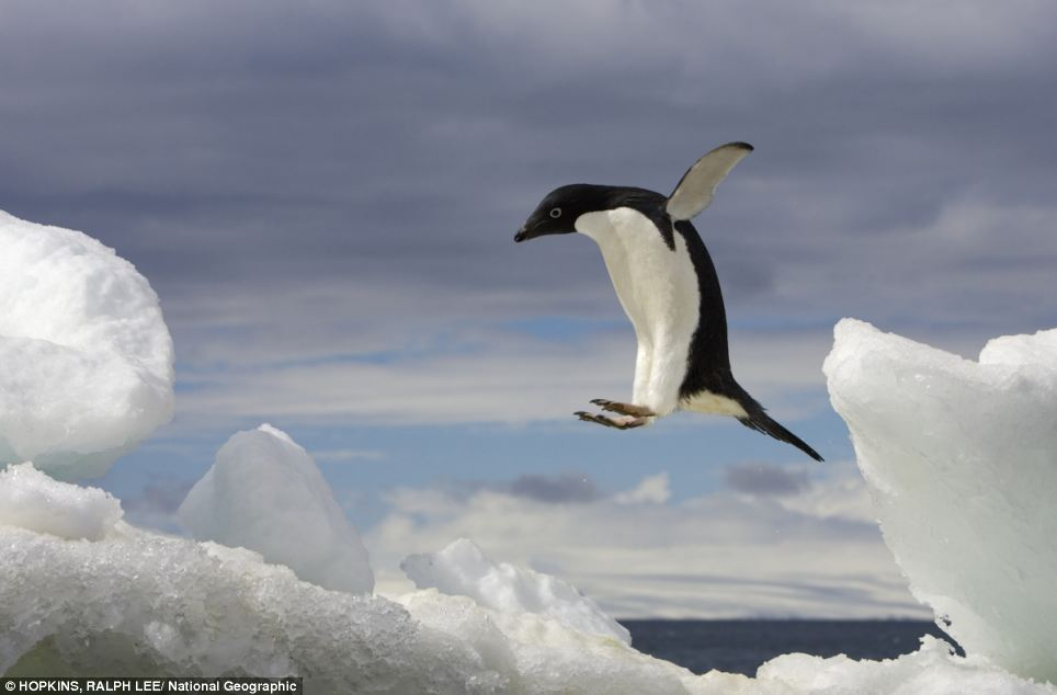 An Adelie penguin jumping on an iceberg