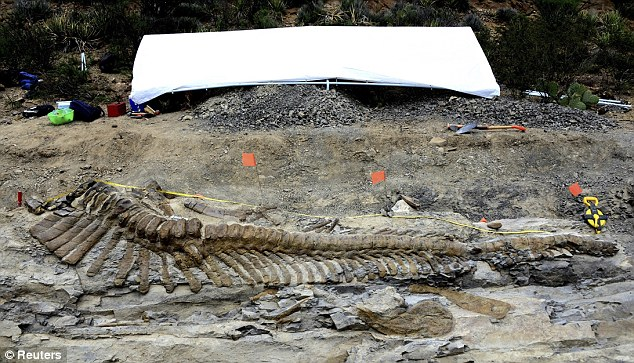 Strewn around the tail were other fossilised bones, including one of the dinosaur's hips