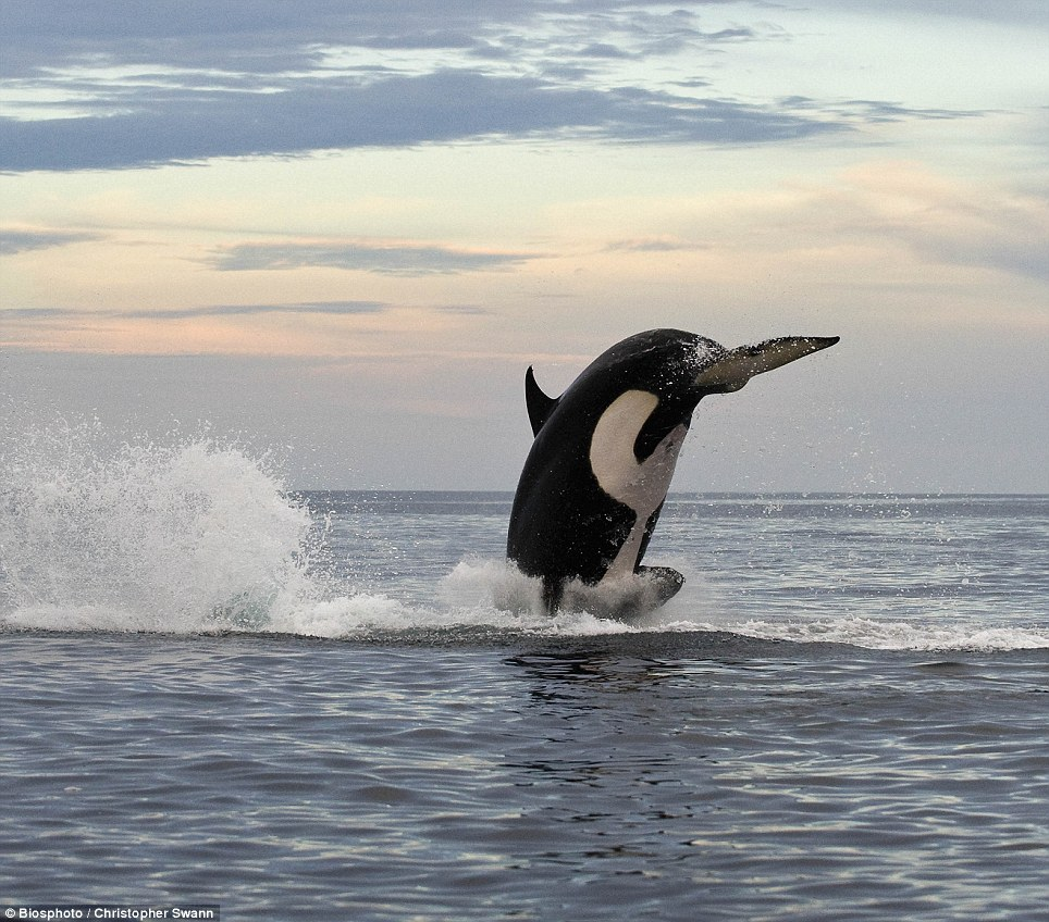 Hunting: The killer whales raced around after the dolphin at full speed for two hours
