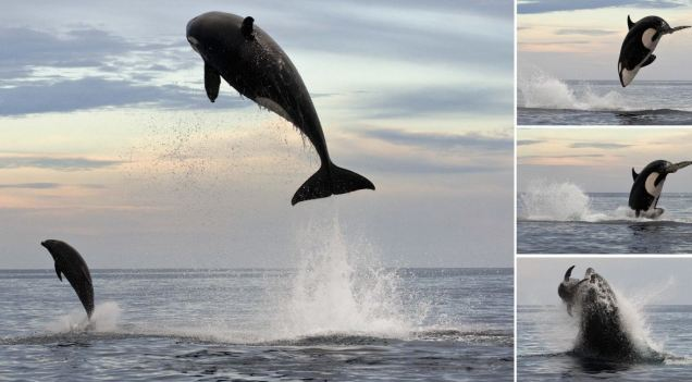 Dramatic: This killer whale was pictured attacking a bottlenose dolphin off the Mexican coast
