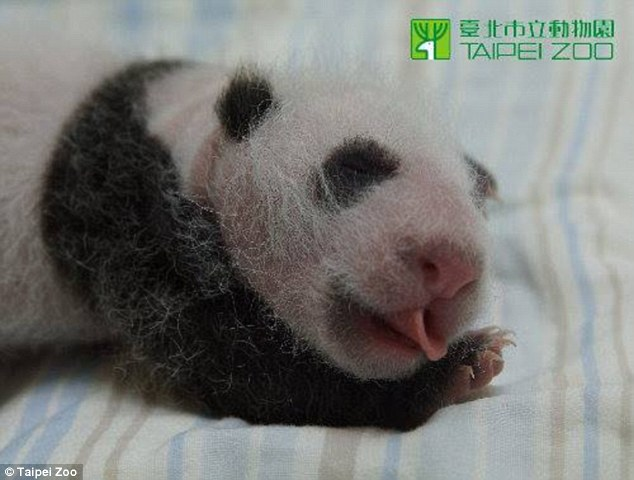 Smiling for the camera: Newborn Giant Panda cub Tuan Tuan is growing fast behind the scenes at the Taipei Zoo