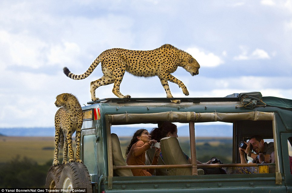 Wild things: Cheetahs jumped on the vehicle of tourists in Masai Mara National Park, Kenya, and Yanai Bonneh was in the right place to capture the big cats in action