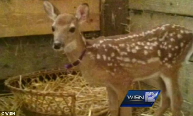 Danger: Giggles the baby deer was euthanized in July when government agents stormed an animal shelter