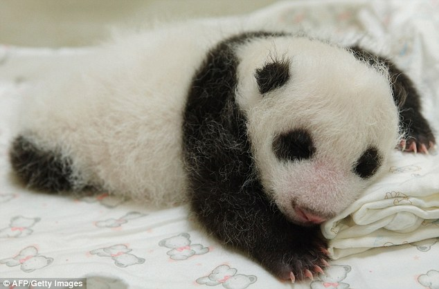 The public will have to wait three months to catch a glimpse of Yuan Zai, the first panda born in Taiwan, officials said in July