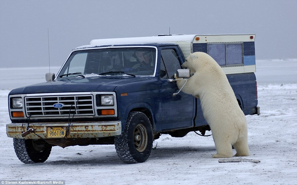 How would you react? When this giant polar bear showed an interest in this truck, the driver and photographer took out his camera and starting taking pictures