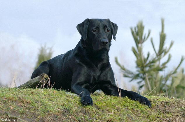 Saviour: A black Labrador called Macy, similar to this one here, was responsible for donating the blood