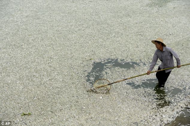 Pollution: 220,000 pounds of poisoned fish have been collected from the Fuhe river in central China