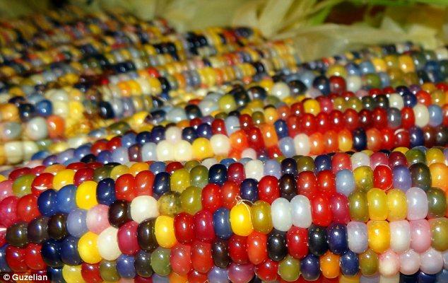 Image result for multicolor  corn
