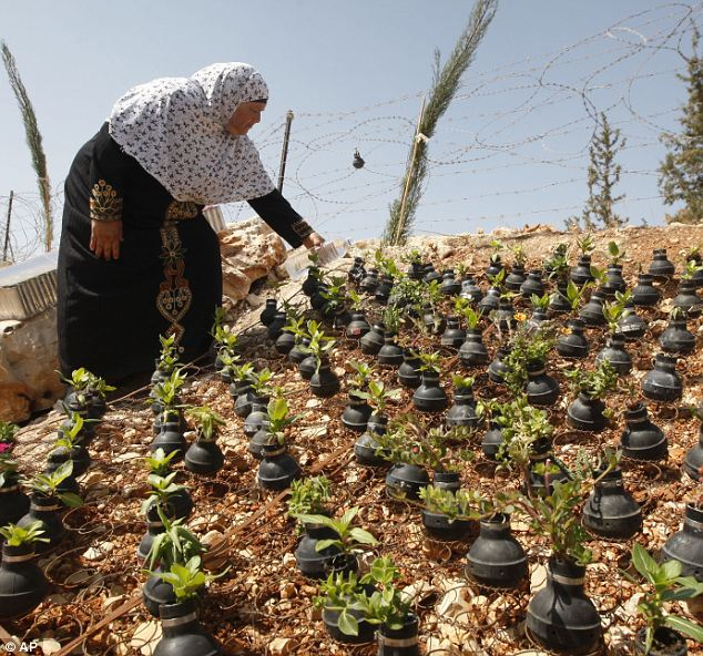 Disputed land: A Palestinian woman waters dozens of plants near her desert home, each growing from used tear gas canisters collected in clashes with Israeli soldiers during protests against the West Bank occupation