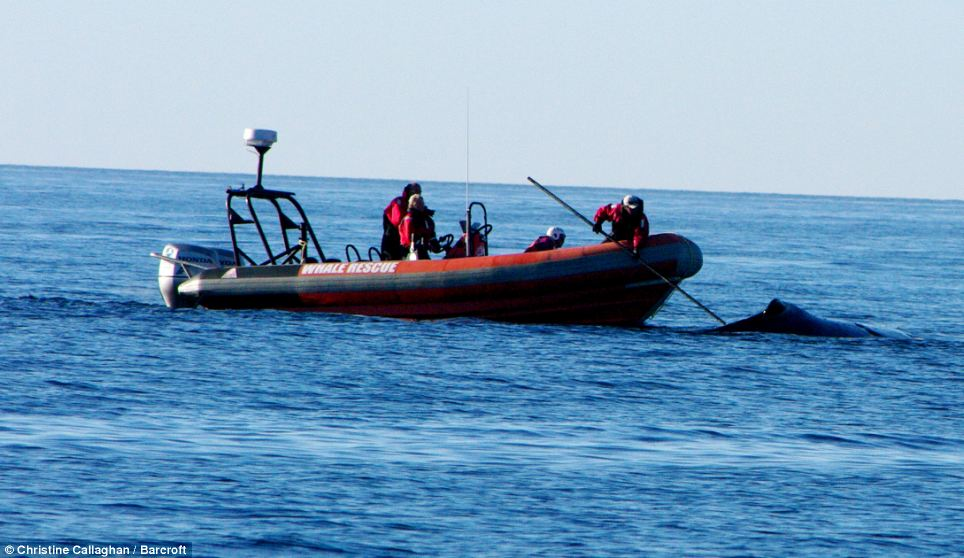 Members of Campobello Whale Rescue Team helped the whale, who had rope wrapped around her head and across her blowholes and peduncle