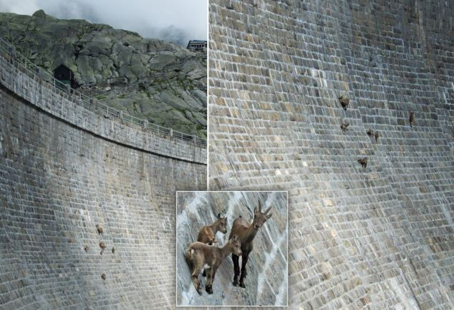 Goats on the dam
