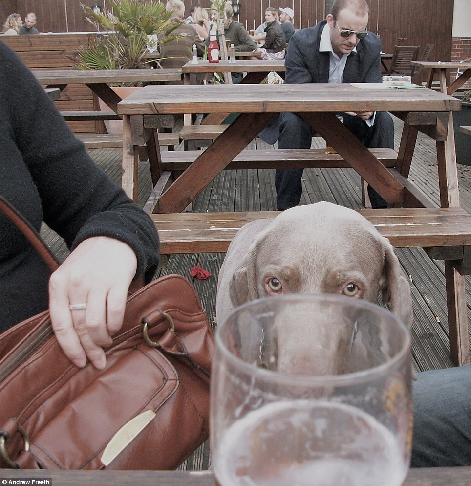 You going to finish that? Man's best friend runner up Andrew Freeth snaps a thirsty looking Weimaraner in a beer garden in Bristol