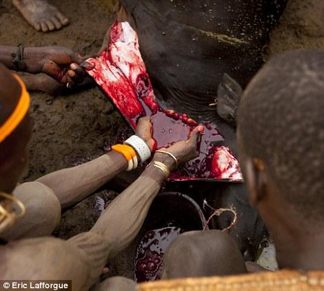 Augury: Os anciãos olhar para futuras portentos no sangue da vaca