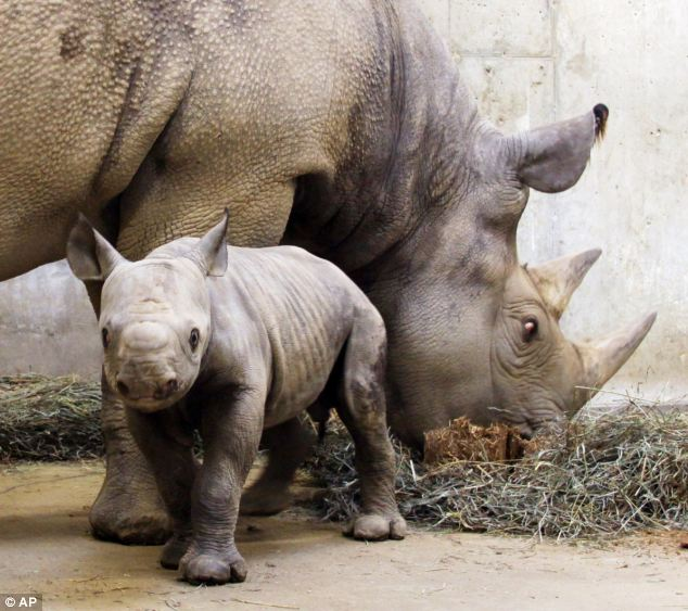 A black rhino calf born at the Saint Louis Zoo in Saint Louis, Missouri. The IUCF said that the Western Black Rhino of Africa, a species related to these black rhinos, is officially extinct