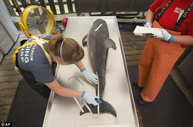 Spreading: Researchers now fear that the outbreak will get worse with herbs moving south for the winter. Above, researchers conduct a necropsy on a dead dolphin in Virginia Beach, Virginia in August