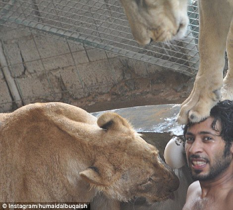 Bathtime: The lions of Instagram get cleaned up after a hard days play with their owner who seems unworried about being so close to the deadly predators