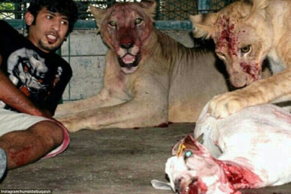 Feeding time: Another mildly disturbing picture reveals that the lions are not without want when it comes to being well looked after