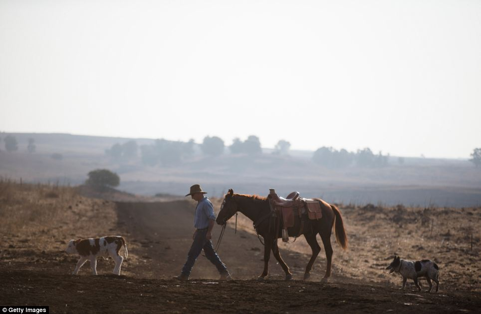 Cowboy Yechiel Alon walks with his horse after he finished moving his herd across miles of the disputed area
