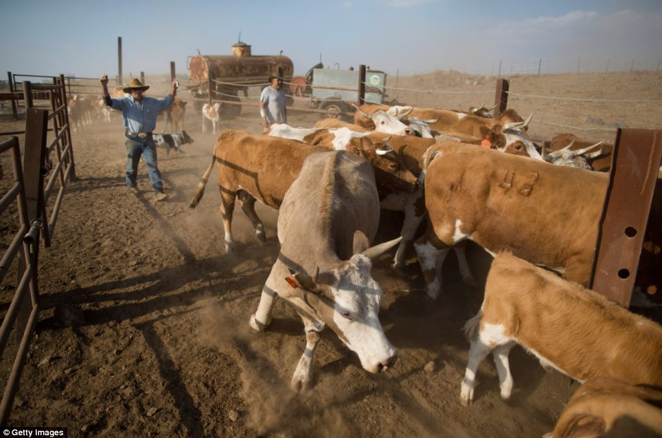Yechiel Alon drives his herd into a corral to receive vaccines, at the Merom Golan ranch