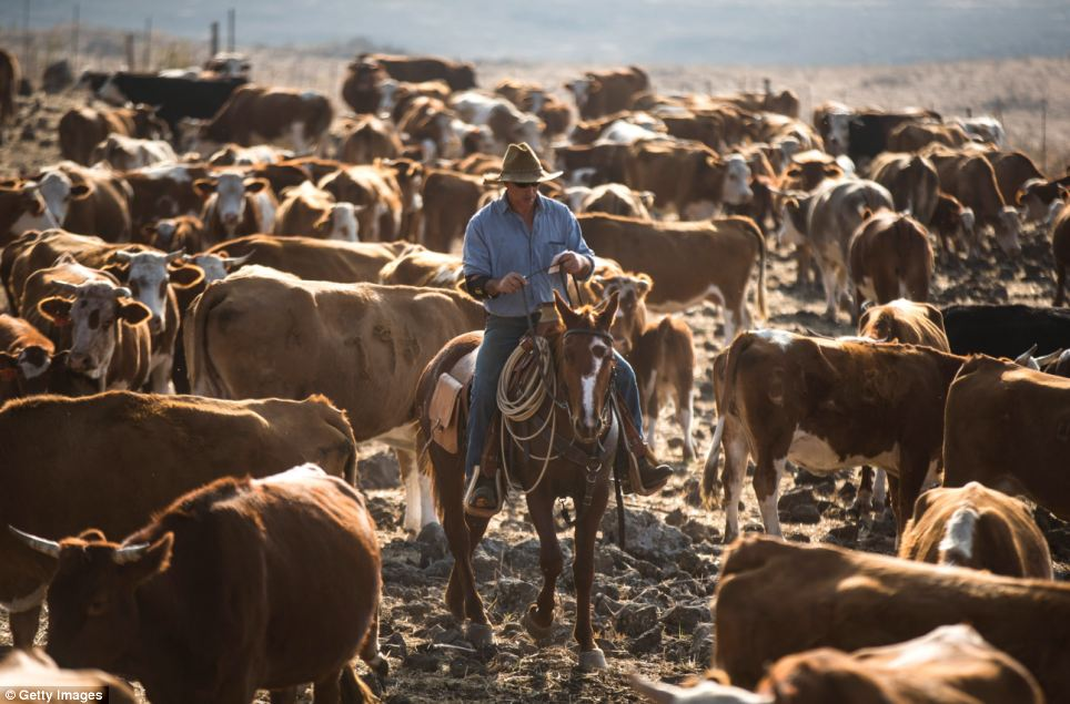 Israeli cowboys like Yechiel Alon (pictured) have worked the land in the disputed Golan Heights for 30 years