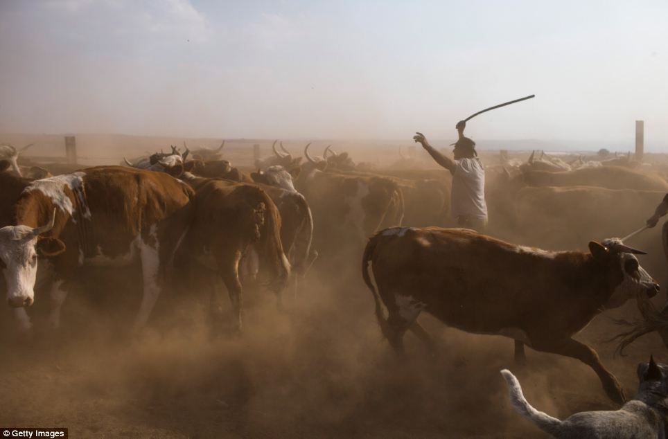 Israeli cowboy Wafik Ajamy drives his herd into a corral to receive vaccines at the Merom Golan ranch