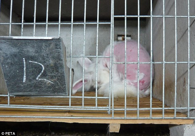 Left to recover: After the rabbit had had all its fur yanked out it is thrown into a cage to regrow its fur in complete solitude