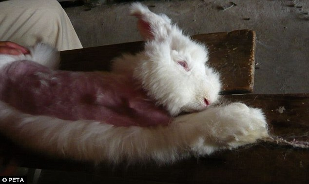 Animal cruelty: The angora rabbits are alive throughout the plucking and are kept for several years, plucked every few months, before their throats are slit