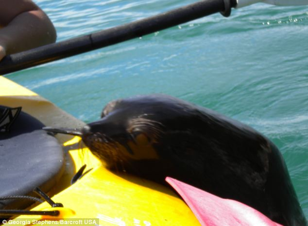 Up close: The seal pops its head out of the water and rests it on the side of Georgia's kayak as it makes friends with the couple