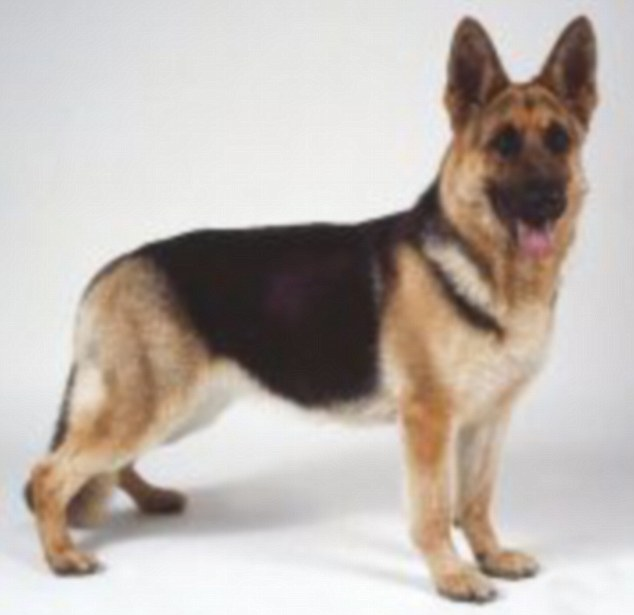 Verdict: The dog blogger claims that the modern-day German shepherd would not be able to match its predecessor's athletic ability