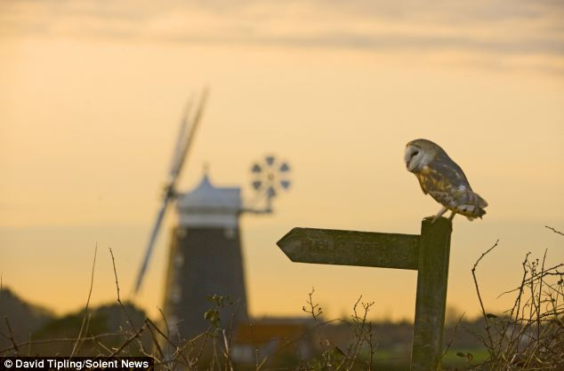 Majestic: The book covers Britain and Scandinavia. Here a Barn owl watches the sun rise in North Norfolk
