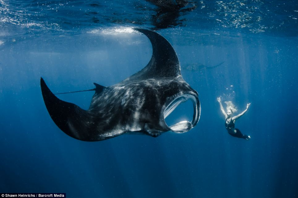Professional Mermaid Goes Tail To Tail With Giant Manta