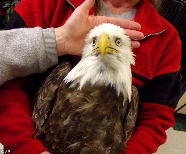 Unknown illness: This undated image provided by the Wildlife Rehabilitation Center of Northern Utah shows one of four bald eagles that were brought in with odd symptoms. All later died