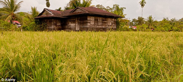 Rural: The town where the boy is alleged to have raped the girl is surrounded by paddy fields
