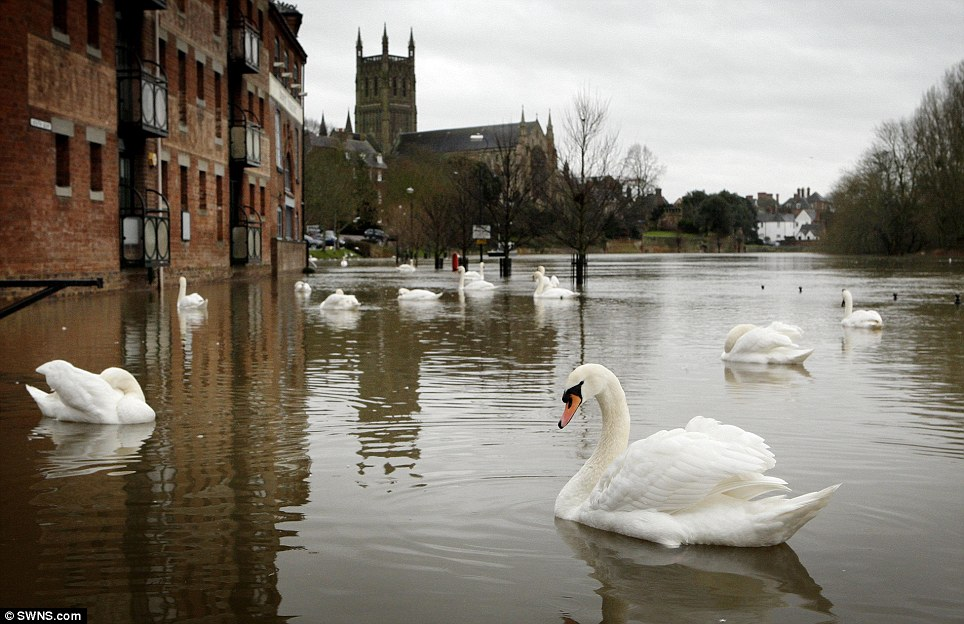 Making the most of it: Flooding in Worcester as the swans take over the streets near the river front after the River Severn bursts its banks once more