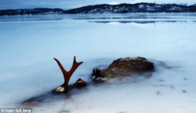 Frozen: The animal was found frozen solid in the middle of the water near Bodo in northern Norway with just its antlers and back visible above the ice