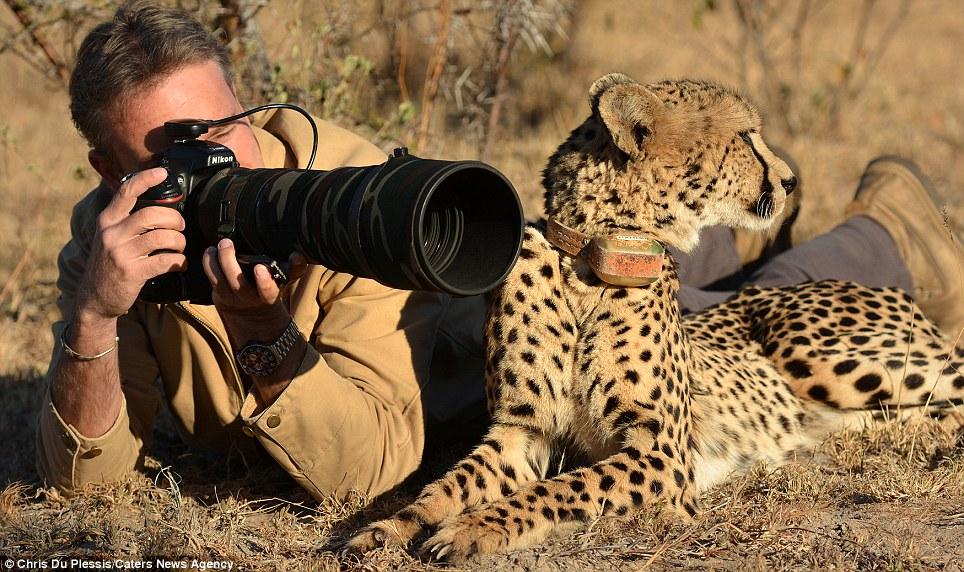 De gato asombroso: El depredador es la imagen de la elegancia irregular mientras posa con el fotógrafo, completamente a gusto con la situación
