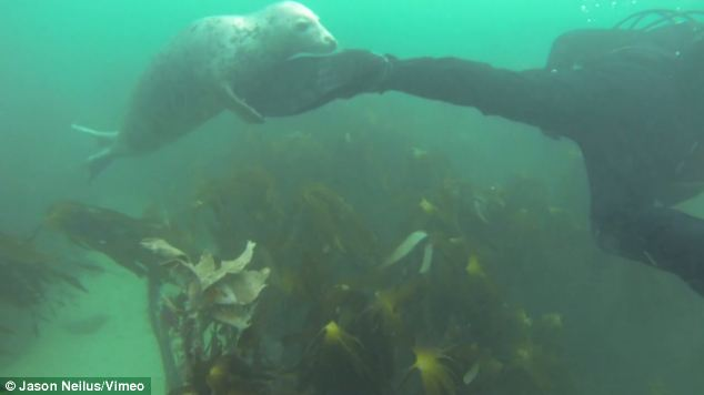 Along for the ride: A playful pup grabs hold of a diver's flipper