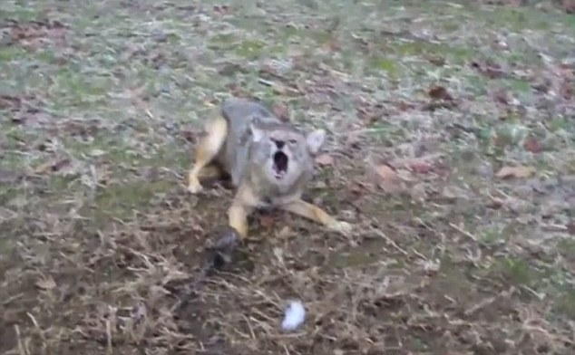 A trapped Coyote howls in pain, its right forepaw held tight in the jaws of a leg hold trap - legal under the AIHTS but cruel according to PETA