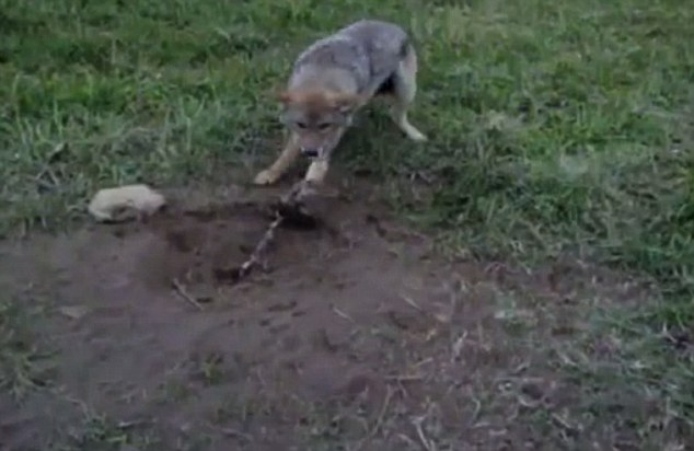 Trapped Coyotes can struggle to get free for days until the hunter returns to check his traps. Mother animals separated from their young attempt to chew off their own limbs in a bid for freedom