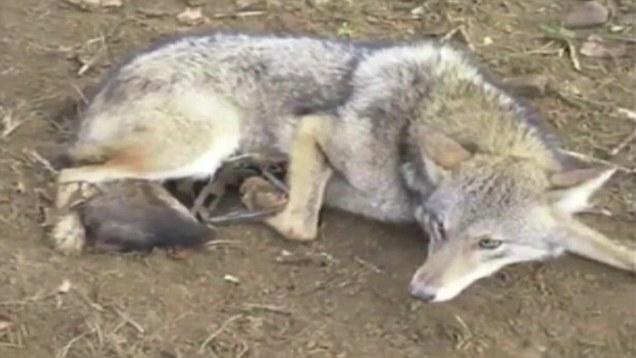 Craigslist sale coyote for traps