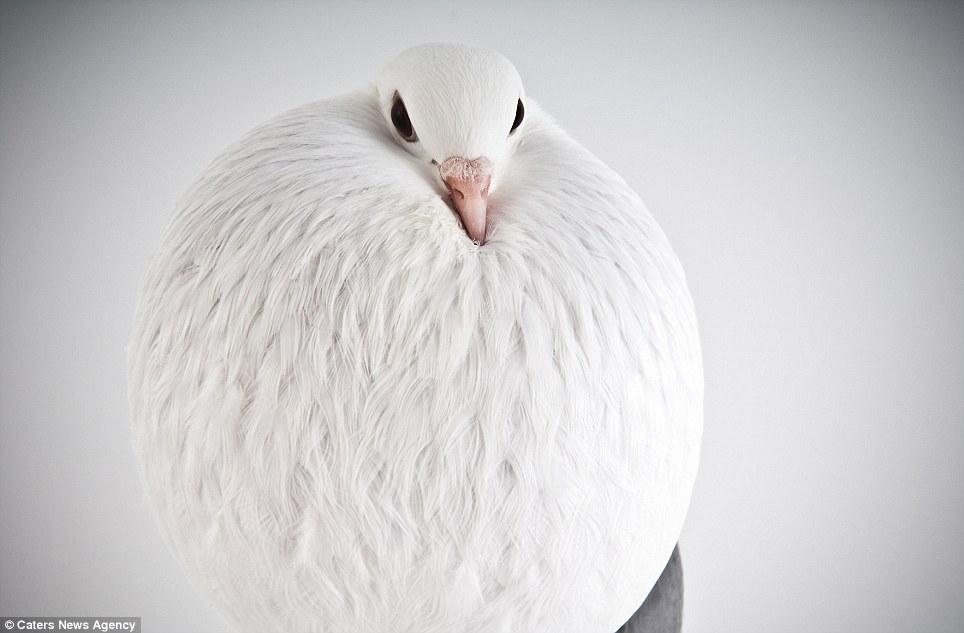 Resultado de imagem para Fancy bird; a Voorburg-Cropper Pigeon. Photo by Richard Bailey