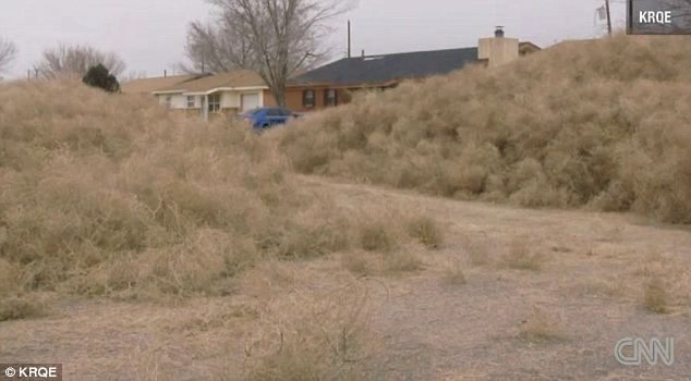 Mountains Of TUMBLEWEED Invade New Mexico Town Burying