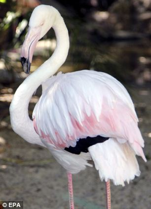 Difficult decision: Staff at Adelaide Zoo yesterday put Greater down, their 83-year-old flamingo